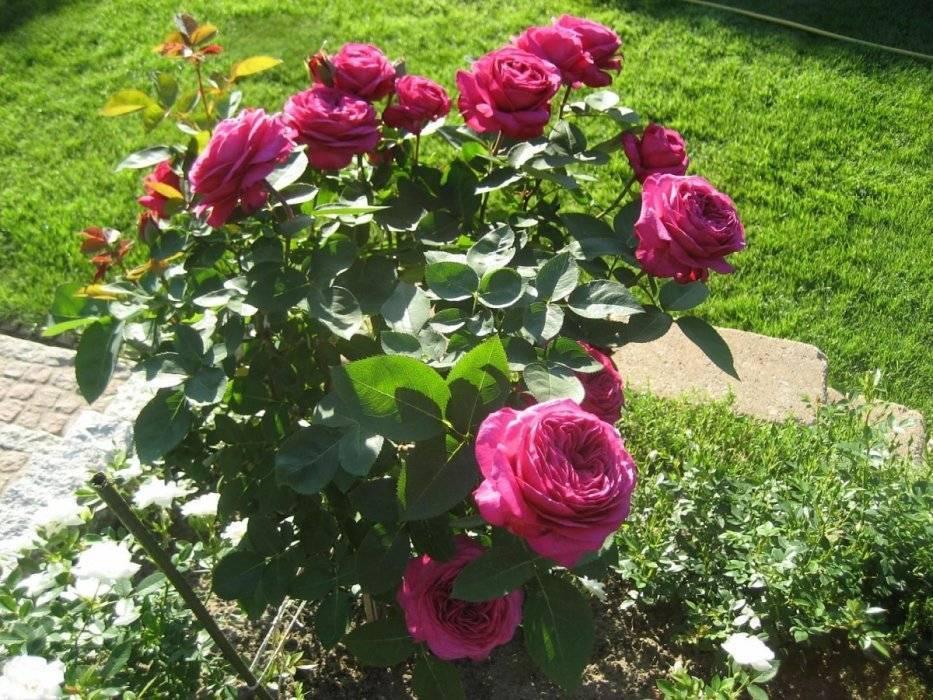Роза грэхам томас (graham thomas) — характеристики гибрида