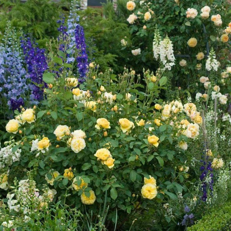 Описание розы сорта грехам томас, посадка и уход, обрезка и размножение