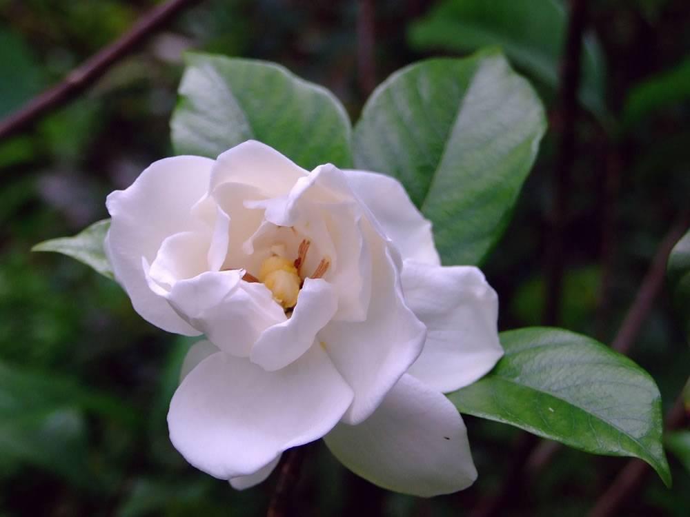 Гардения жасминовидная — уход за комнатным растением в домашних условиях ?