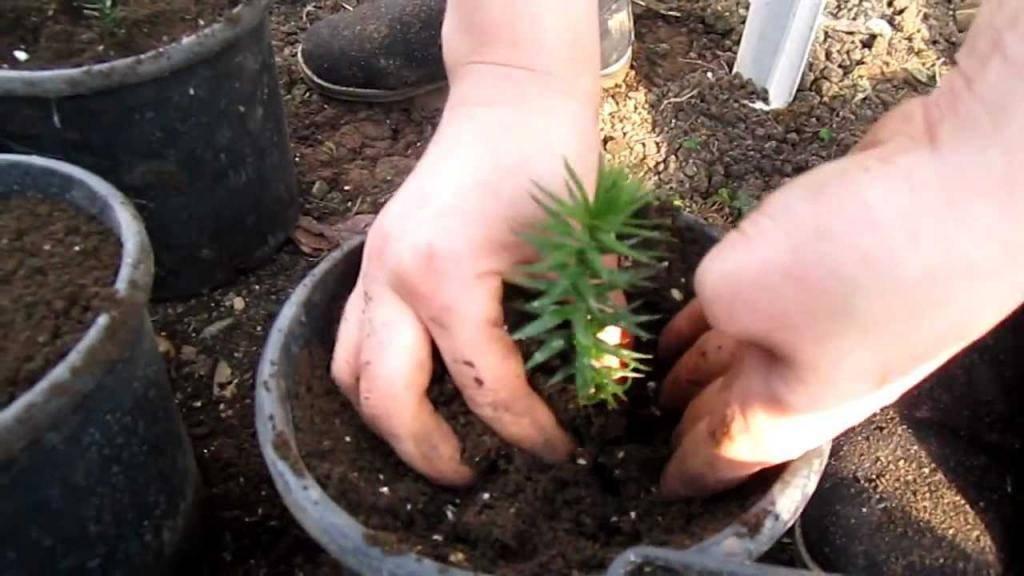 Чилийская араукария для вашего сада