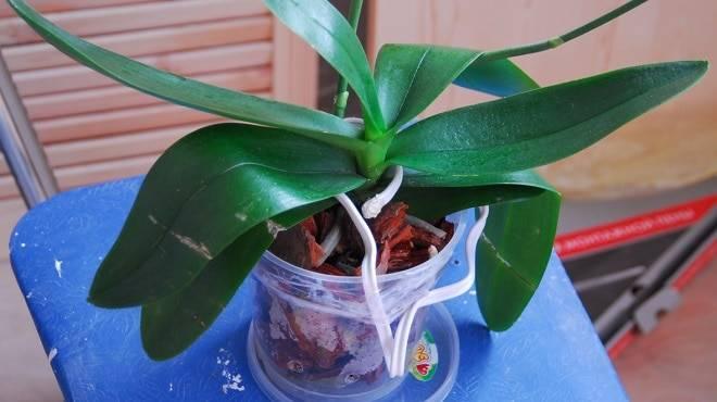 Рассказываем, почему не цветет орхидея после пересадки