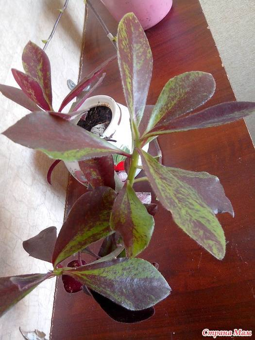 Синадениум гранта - африканское растение