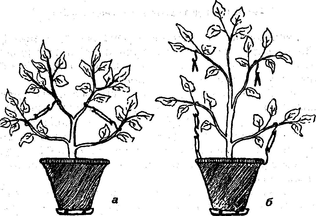 Удобрение бегонии для роста, цветения: как подобрать, вносить в домашних условиях