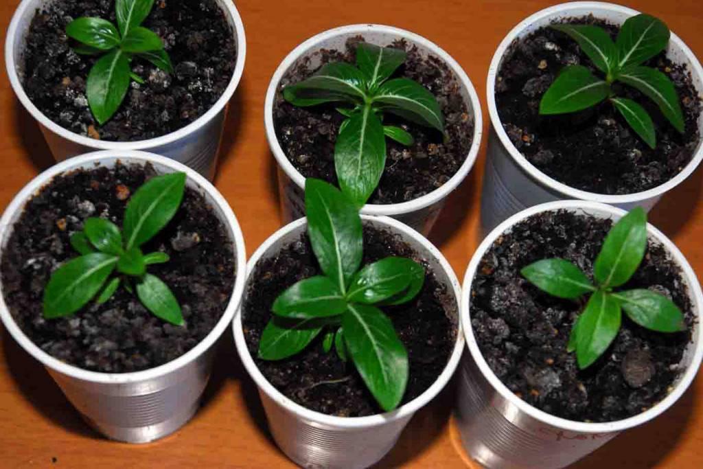 Катарантус: посадка в открытый грунт, уход и фото, сорта растения