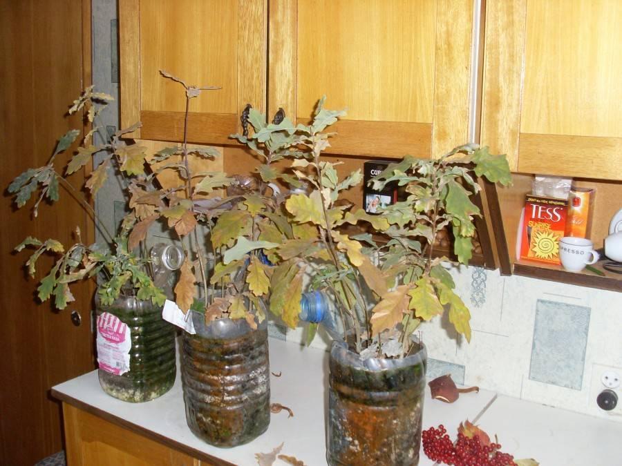 Как правильно посадить желуди в домашних условиях. как посадить и вырастить дуб из желудя: подробная инструкция садоводу