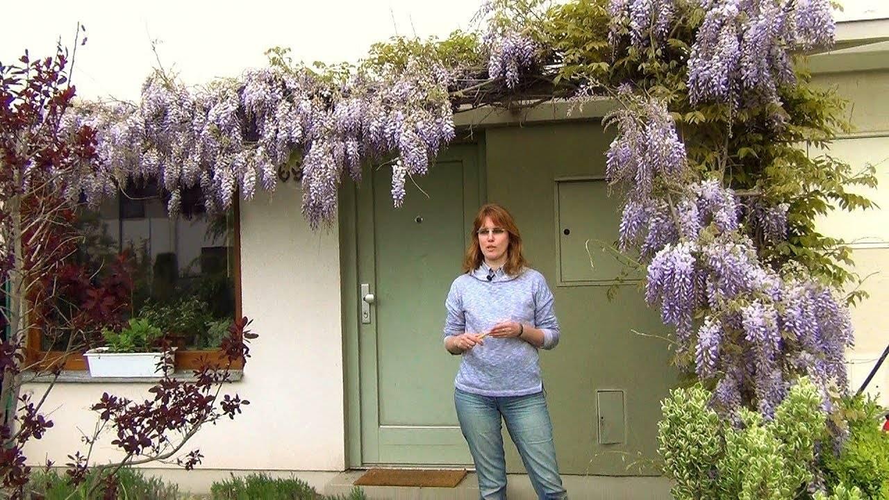 Уход за садовой глицинией: как обрезать растение осенью и укрыть на зиму?