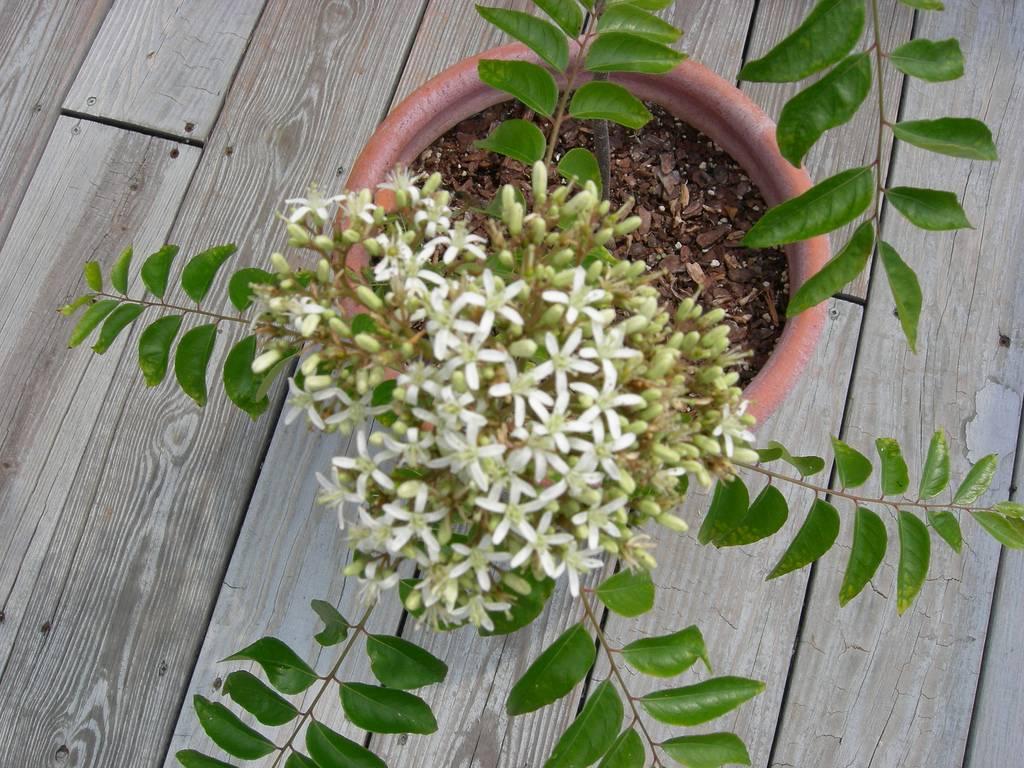 Мурайя из семян в домашних условиях: посев, уход за посевами, выращивание, цветение