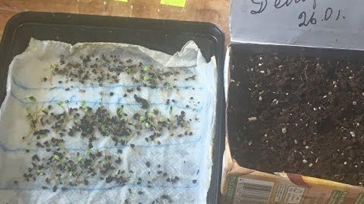 Дельфиниум: выращивание из семян, когда сажать
