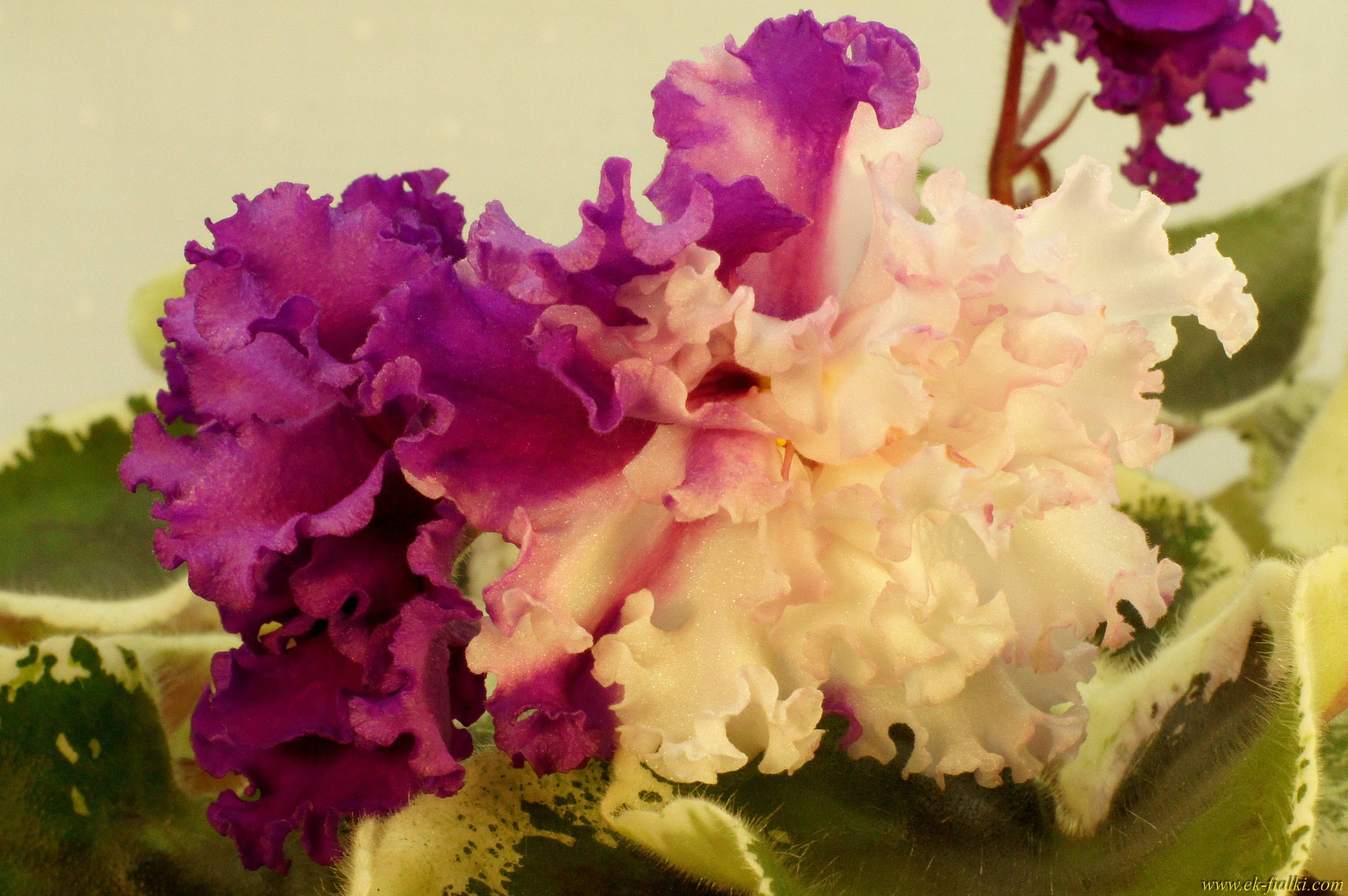 Фиалка ле — описание, разновидности и характеристики сортов