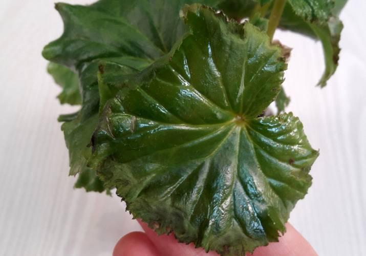 О том почему у бегоний сохнут листья, увядают по краям, желтеют и опадают