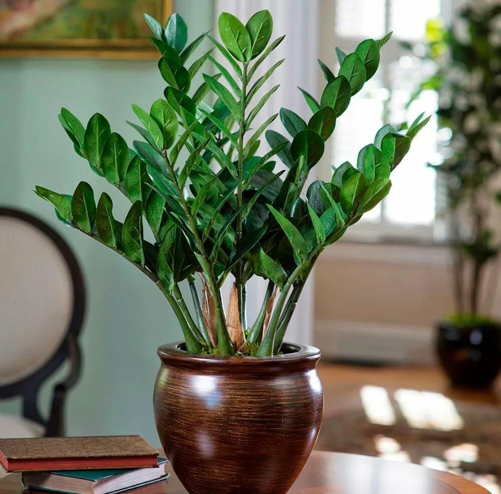 Цветение замиокулькаса (26 фото): как часто цветет «долларовое дерево» в домашних условиях? что сделать, чтобы оно зацвело?