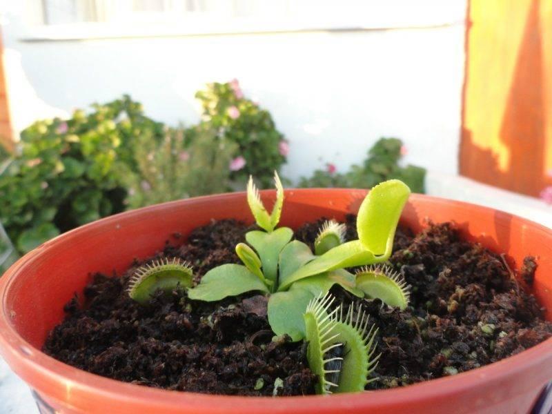 Венерина мухоловка — описание и уход дома