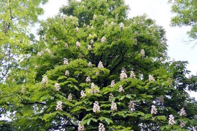 Дерево конский каштан: цветение, где растет и как выглядит - энциклопедия цветов