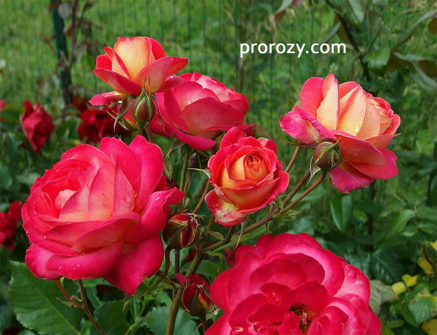 Роза мидсаммер: фото и описание сорта
