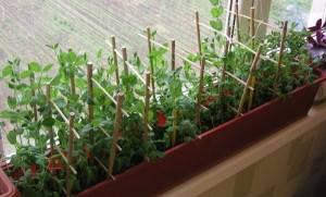 Выращивание гороха в открытом грунте, агротехника + фото и видео