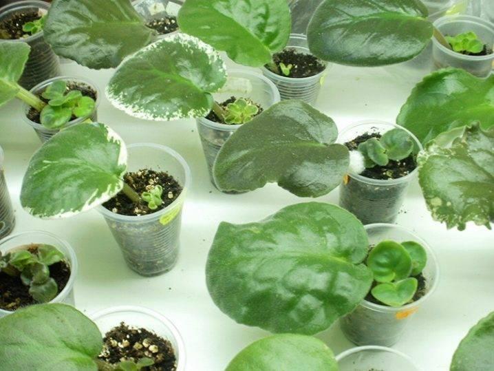 Размножение фиалок листом в домашних условиях пошагово: порядок действий, советы, отзывы, фото
