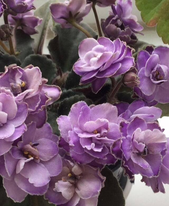 О сортах фиалок с самыми крупными цветами: фиалка зимняя роза, новые сорта