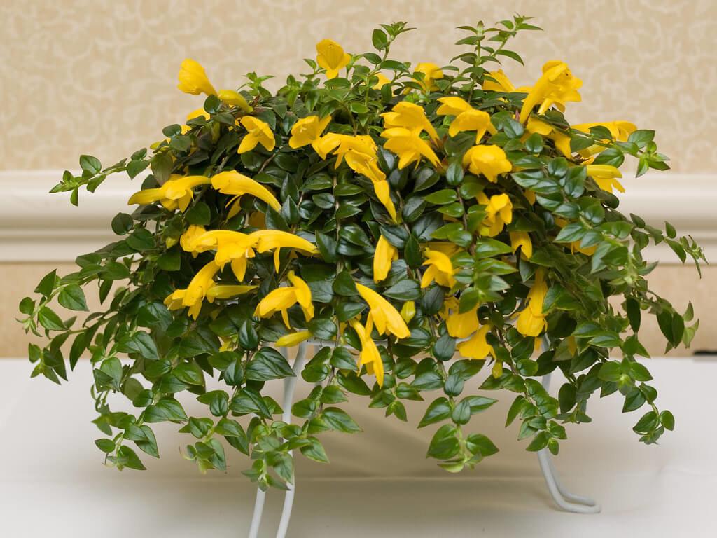 Комнатный цветок колумнея уход и выращивание в домашних условиях размножение виды и сорта фото
