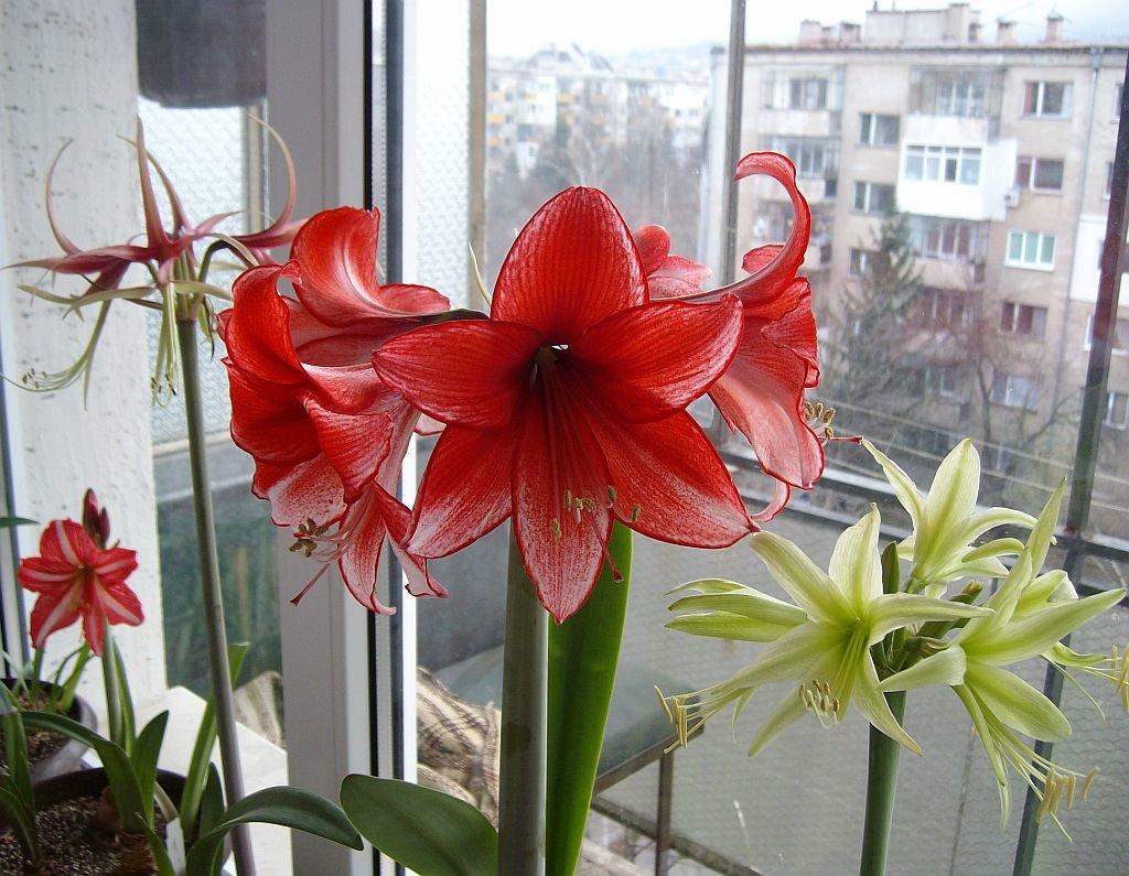 Комнатная лилия: уход в домашних условиях