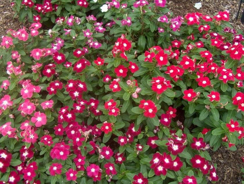 Яркие краски катарантуса. выращивание, уход и фото цветка