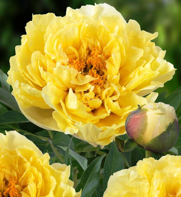 Лучшие сорта ито-гибридов пионов — красота пионов для вашего сада