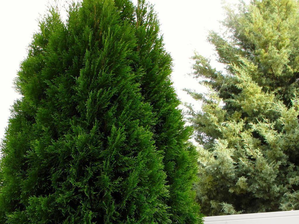 Хвойное дерево кипарис: подробное описание и фото того, как он выглядит