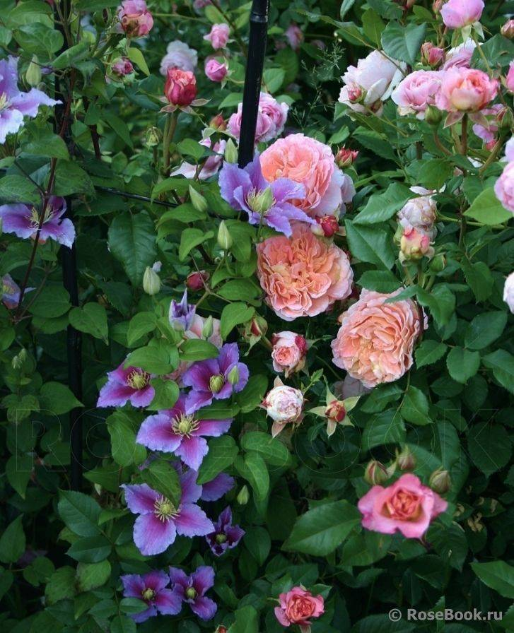 Роза вильям моррис (william morris) — характеристика культуры