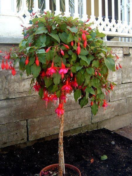Фуксия (53 фото): что это за растение? грунт для фуксии. что делать с ней осенью? выращивание в горшке и период покоя. кустовая и другие виды. почему не цветет?