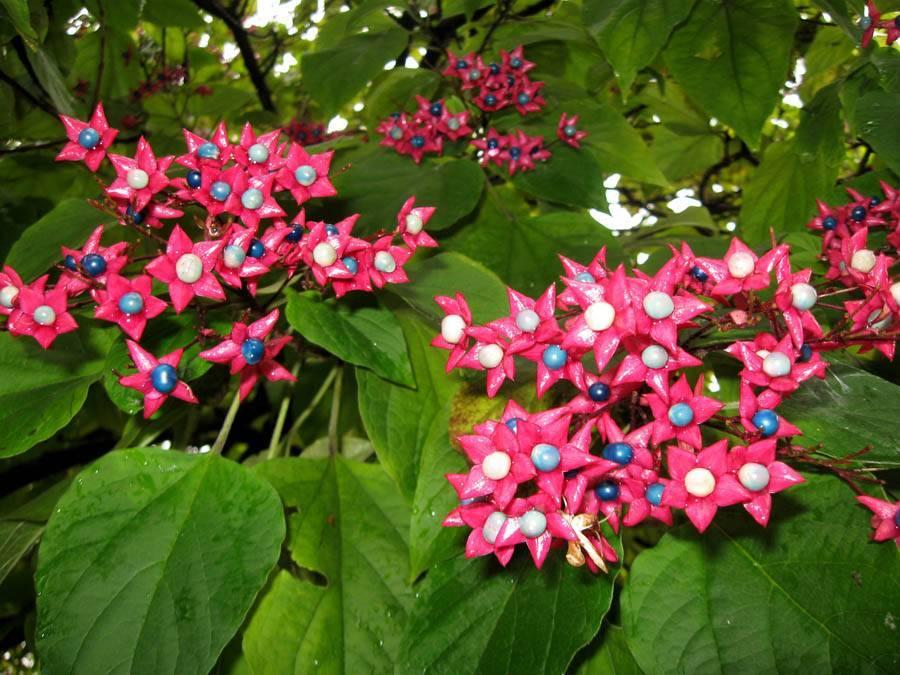 Клеродендрум уоллича: фото цветка и история селекции сорта валичи, уход в домашних условиях