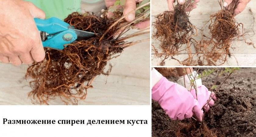 Спирея грефшейм в саду: посадка кустарника и правильный уход за ним