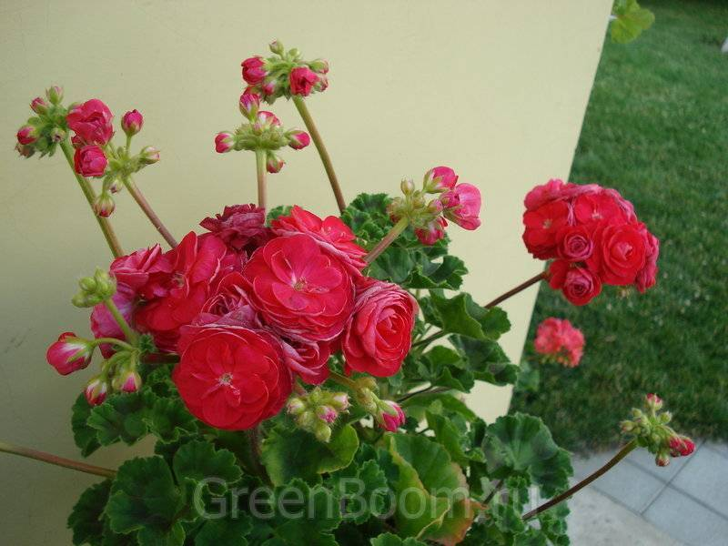 Пеларгония fischers appleblossom — посадка и уход