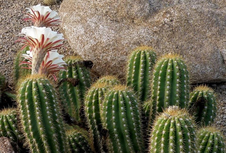 Кактус цереус: популярные виды растения и уход за ними дома