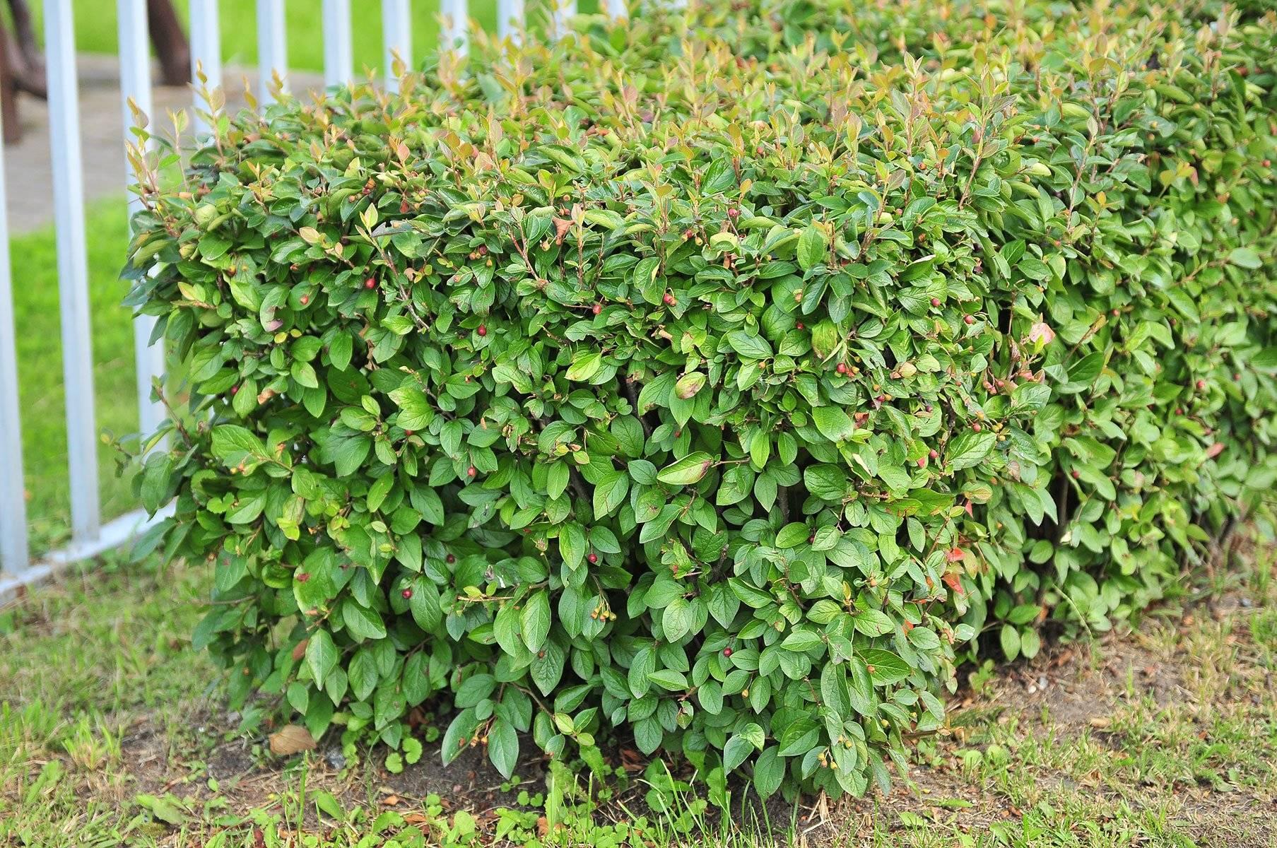 Кизил — особенности выращивания и сорта