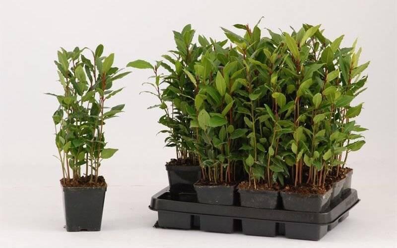 Комнатные деревья – лавр, нолина или бутылочное дерево, можжевельник