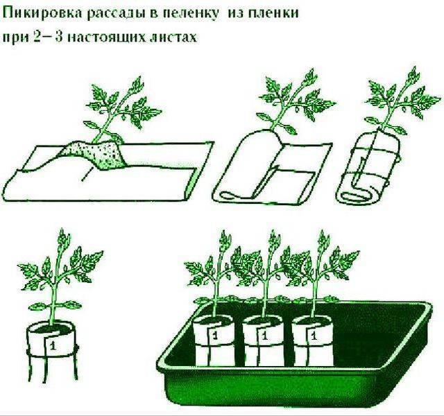 Как размножить домашнюю розу в домашних условиях? методы и способы размножения, правила полива, обрезка и уход