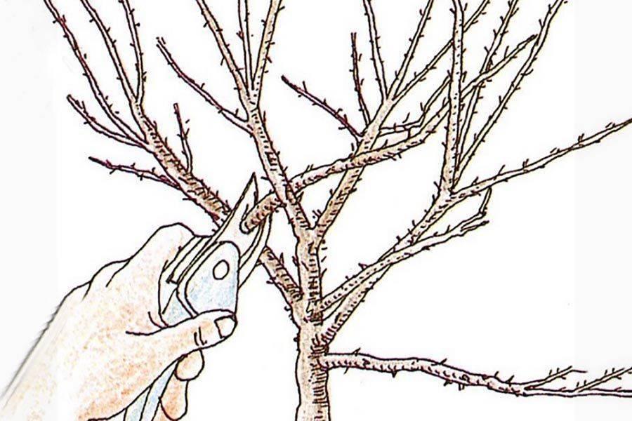Обрезка крыжовника - пошаговая инструкция, схема и особенности обрезки для начинающих (105 фото)
