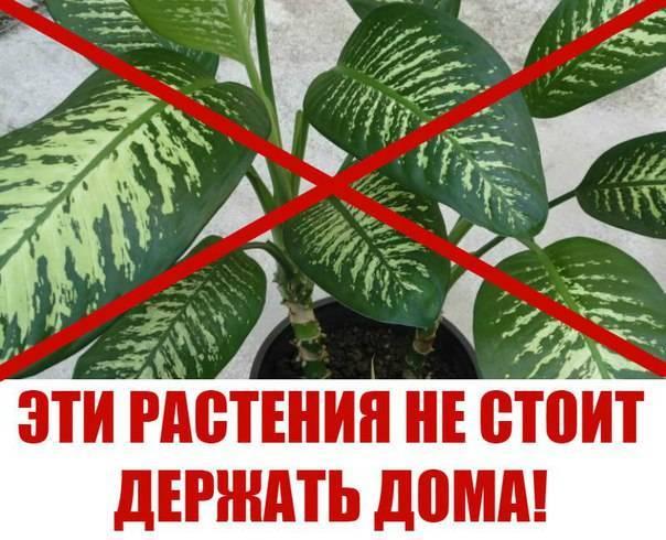 Домашние ядовитые растения и цветы