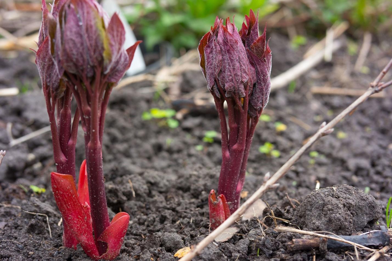 Почему не цветут пионы - что делать: фото, видео