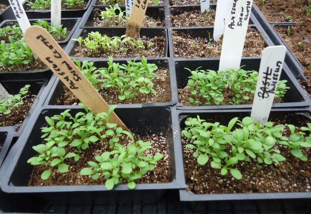 Годеция: фото, выращивание из семян, посадка и уход в открытом грунте