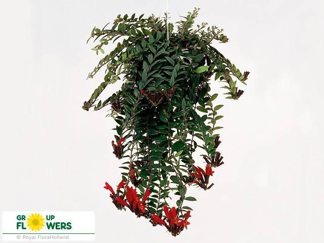 Уход в домашних условиях за красивым растением эсхинантус, фото и отличия от колумнеи