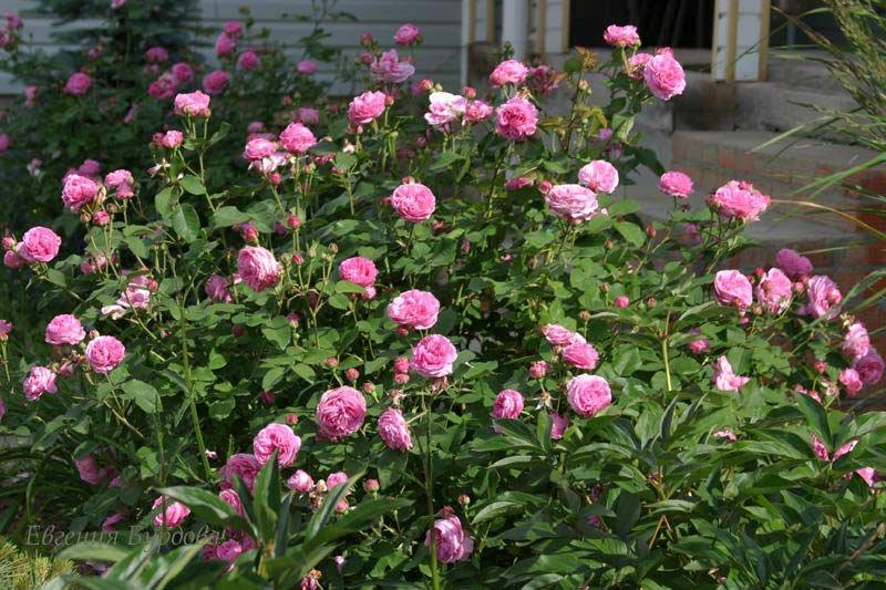 Описание гавайской розы: что это за многолетнее растение вида argyreia nervosa