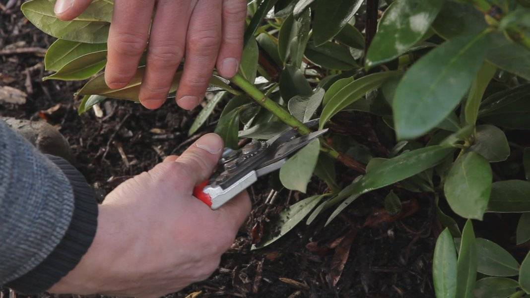 Рододендрон – посадка и уход в открытом грунте