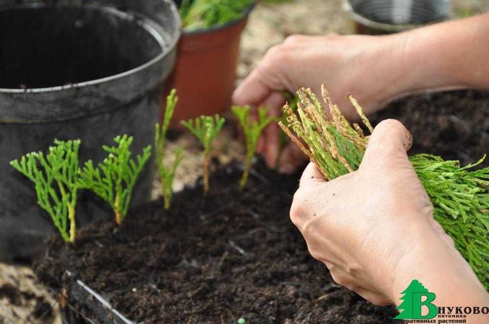 Выращивание молочая комнатного: как посадить, ухаживать, удобрять, размножать