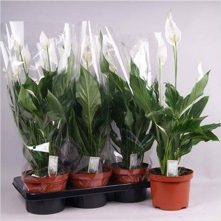 Комнатное растение спатифиллум: описание, разновидности и сорта, родина растения и особенности ухода
