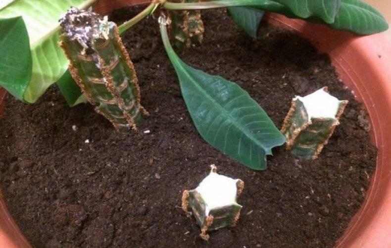 Размножение молочая: как размножить его семенами в домашних условиях? как укоренить черенок комнатного цветка?