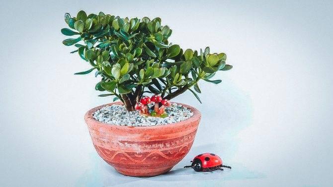 Как посадить денежное дерево в домашних условиях