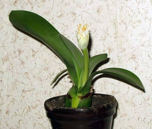Цветок гемантус (олений язык), уход в домашних условиях, фото