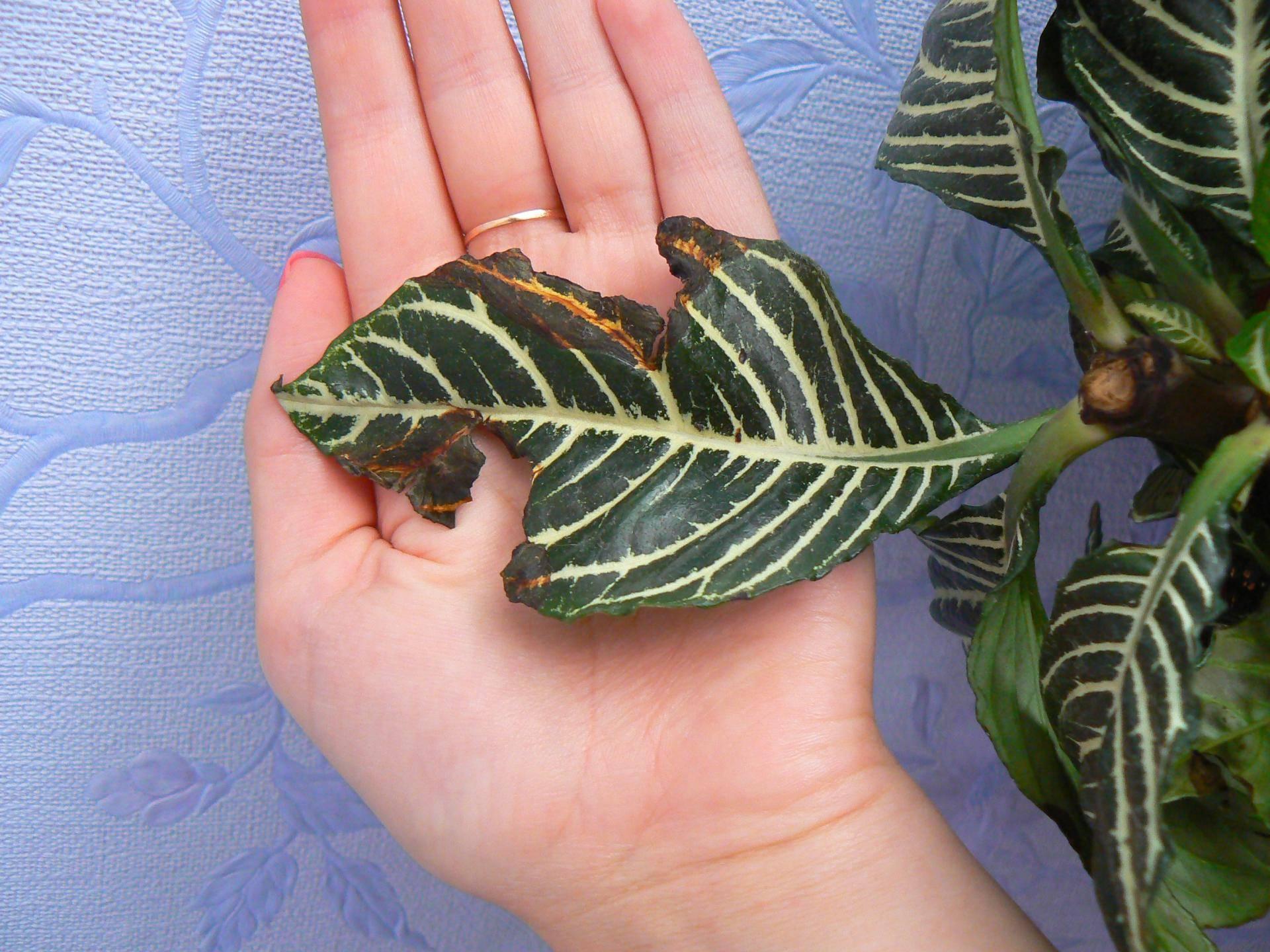 Калатея: сохнут и скручиваются листья, желтеет,  вредители, фото