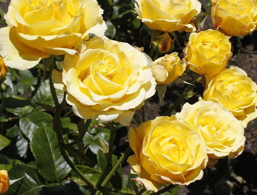 Роза мисти баблс (misty bubbles) — описание декоративного сорта