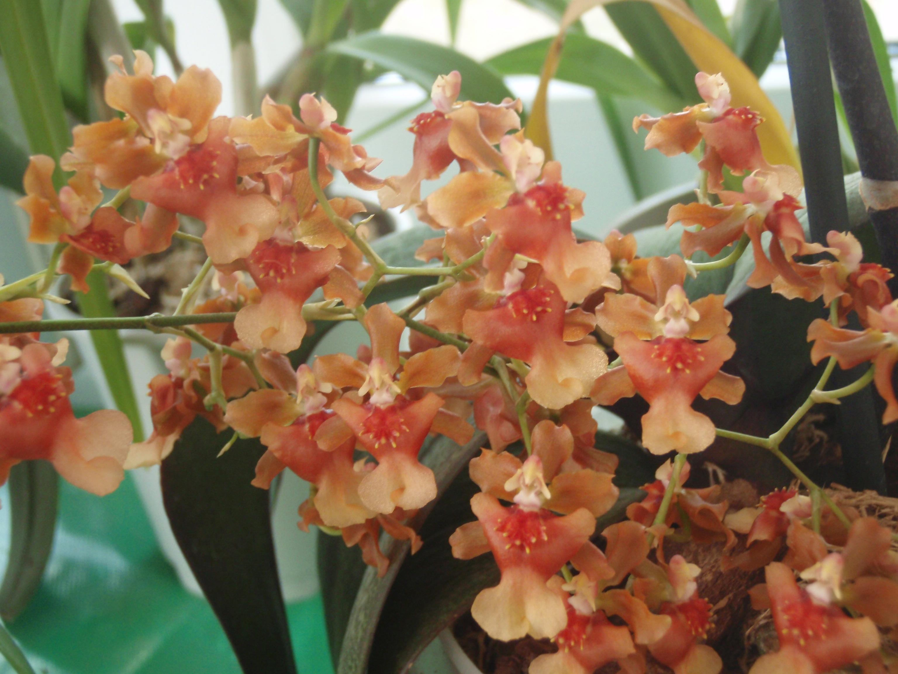 Орхидея онцидиум: уход в домашних условиях, болезни и вредители. советы для начинающих цветоводов.